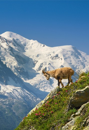 Mountain with a chamois goat in Moûtiers